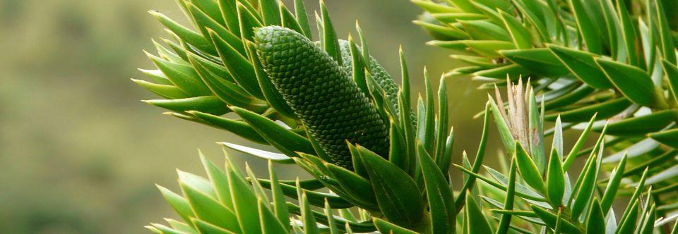 Araucária na Serra Catarinense